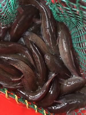 广西壮族自治区防城港市东兴市野生黑鱼 人工养殖 0.5公斤以下