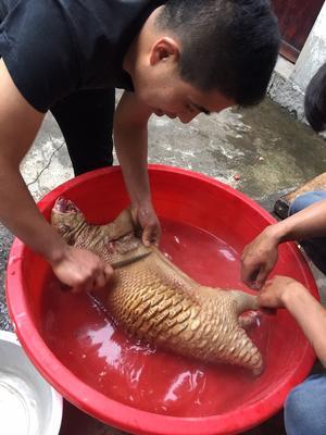 贵州省安顺市西秀区中华豪猪 20-30斤