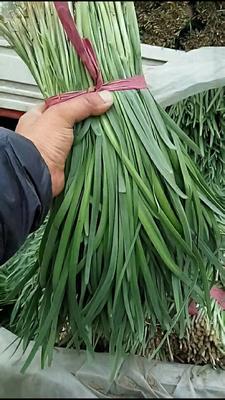 河北省石家庄市桥东区汉中韭王 二茬 20~30cm