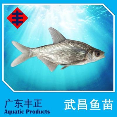 广东省江门市新会区武昌鱼 人工养殖 0.5龙8国际官网官方网站以下