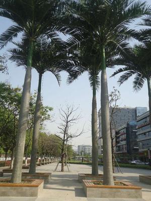 福建省福州市平潭县大王椰子树