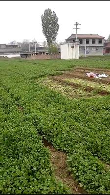 河南省焦作市山阳区小叶香菜 20~25cm