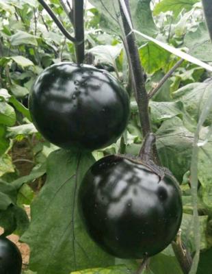 江苏省徐州市丰县黑圆茄 5两以上