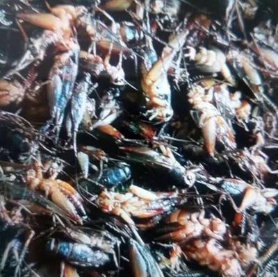 河南省漯河市郾城区蟋蟀