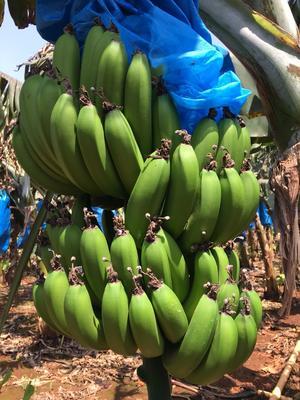 广东省湛江市徐闻县巴西香蕉 七成熟 40 - 50斤