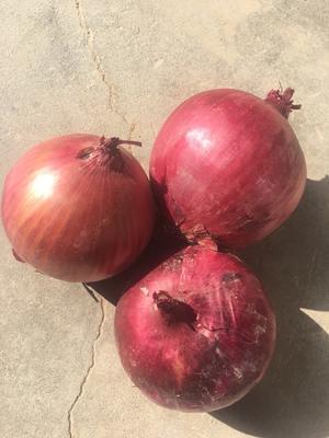 甘肃省武威市民勤县红皮洋葱 5~8cm 红皮 2.5-3两
