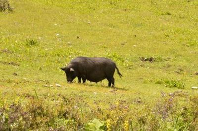 四川省阿坝藏族羌族自治州若尔盖县香猪肉 生肉