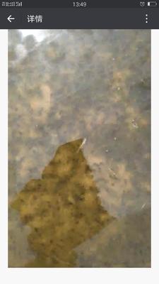 湖南省长沙市浏阳市黑斑蛙苗