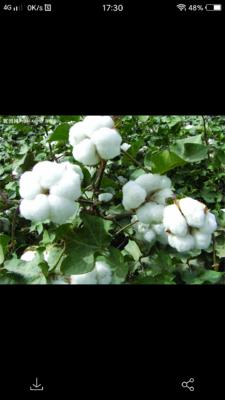 新疆维吾尔自治区喀什地区巴楚县新疆棉花