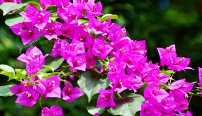 云南省昆明市呈贡区紫花三角梅 0.2米以下