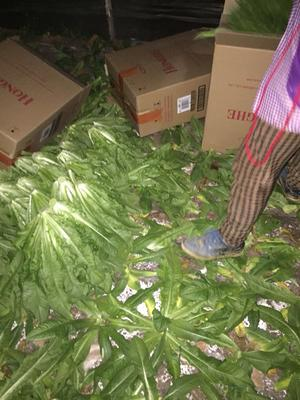 云南省昆明市嵩明县美冠油麦菜 30~35cm以上