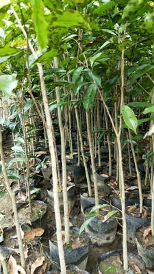 广西壮族自治区玉林市容县奇楠沉香树