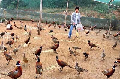 贵州省铜仁市德江县七彩山鸡 2-3斤