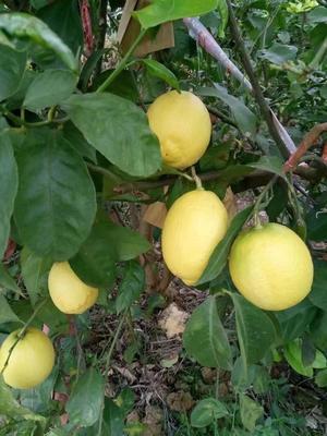 四川省资阳市安岳县安岳柠檬 2 - 2.6两