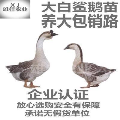 广西壮族自治区南宁市西乡塘区大白沙鹅苗