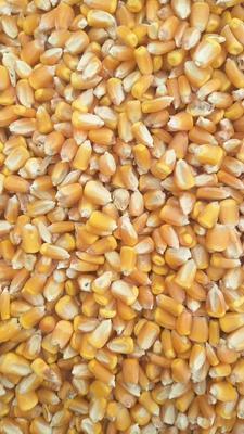 吉林省四平市公主岭市玉米干粮 霉变≤1% 杂质很少