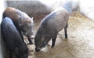 山东省济宁市嘉祥县特种野猪 40-60斤 统货