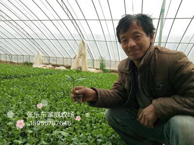 安徽省宿州市埇桥区黄瓜种苗