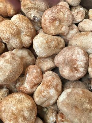广东省河源市源城区古田猴头菇 5~7cm
