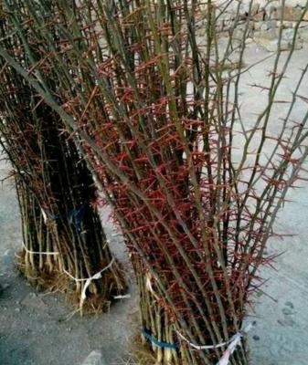 陕西省渭南市富平县药用皂角树