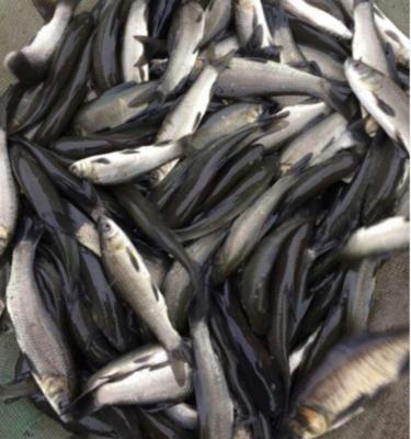 上海浦东新区池塘草鱼 人工养殖 0.25-1龙8国际官网官方网站