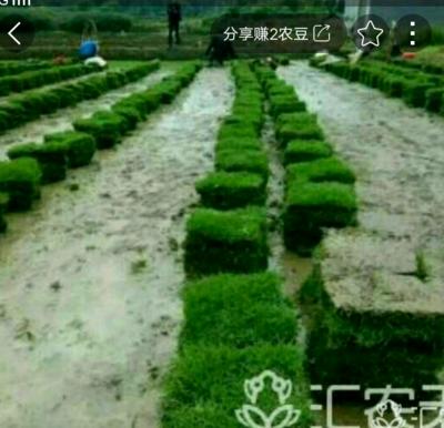 安徽省滁州市南谯区果岭草