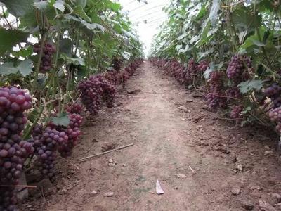 河南省济源市济源市巨峰葡萄 5%以下 1次果 1.5- 2斤