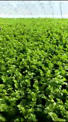 辽宁省大连市旅顺口区西芹 55~60cm 大棚种植 2.5~3.0斤