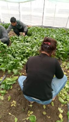内蒙古自治区赤峰市喀喇沁旗大叶菠菜 25~30cm