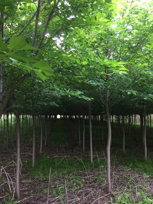 河南省漯河市郾城区垂丝樱花 6~8公分 3.5米~5米