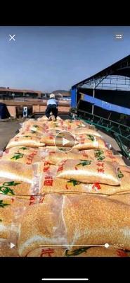 山西省忻州市忻府区玉米干粮 霉变≤1% 杂质很少
