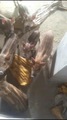 湖南省衡阳市耒阳市特种野猪 60斤以上 统货