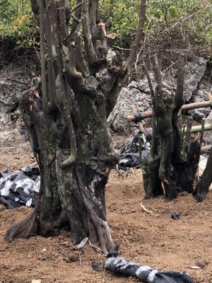 广西壮族自治区桂林市永福县金弹子 8~10公分