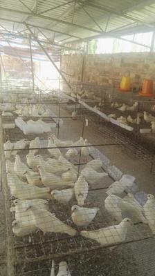 广东省湛江市雷州市肉鸽肉 新鲜