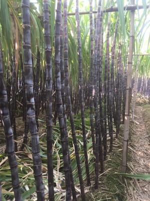 广东省广州市南沙区黑皮甘蔗 2 - 2.5m 3.0cm