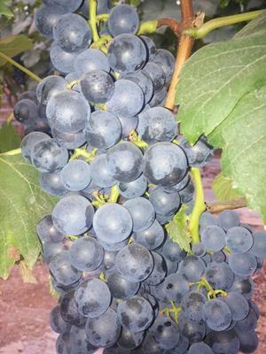 云南省红河哈尼族彝族自治州建水县夏黑葡萄 5%以下 1次果 1-1.5斤