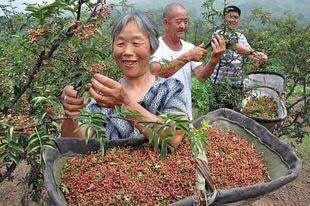山东省临沂市沂水县麻椒 干花椒 特级