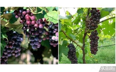 江苏省苏州市吴中区夏黑葡萄 5%以下 1次果 1-1.5斤