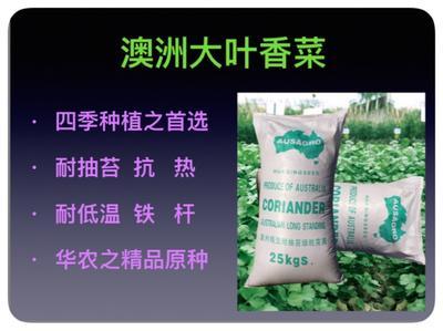 天津西青区铁杆青香菜 35cm以上