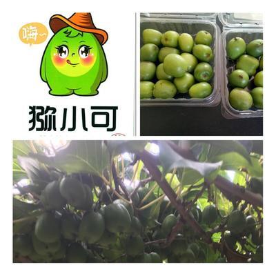 上海浦东新区软枣猕猴桃 50克以下