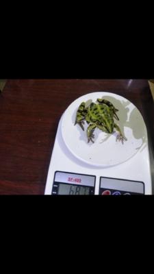 湖北省武汉市汉南区黑斑蛙