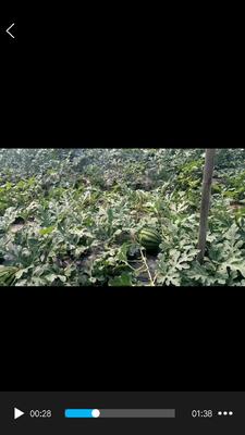 山东省聊城市莘县甜王西瓜 有籽 1茬 9成熟 8斤打底