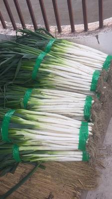 云南省大理白族自治州大理市铁杆大葱 2cm左右 25cm以下 毛葱