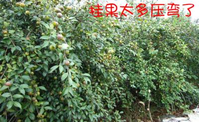 广西壮族自治区钦州市灵山县油茶苗