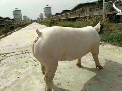 江苏省徐州市铜山区外三元仔猪