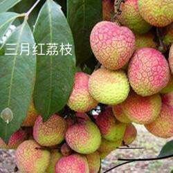广东省广州市越秀区三月红荔枝 2cm