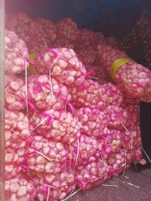 河南省周口市川汇区杂交大蒜 5.0cm 四六瓣