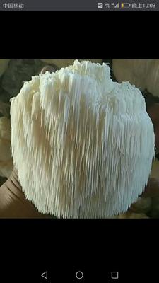 山西省临汾市霍州市短刺猴头菇 7~9cm