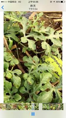 广西壮族自治区南宁市江南区甜王西瓜 有籽 1茬 8成熟 8斤打底