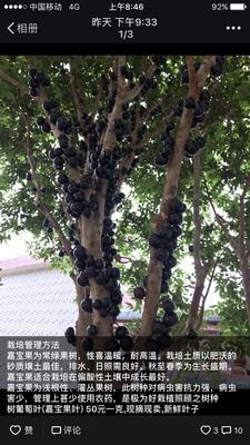 海南省琼海市琼海市树葡萄